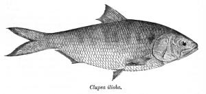 clupea-ilisha