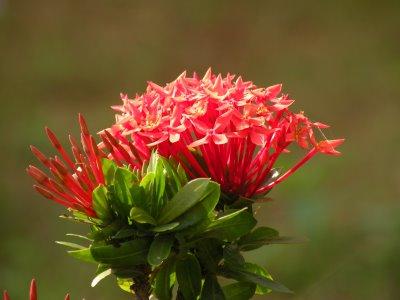 99 Tamil Flowers - Kurunjipaatu - Photo source and further study