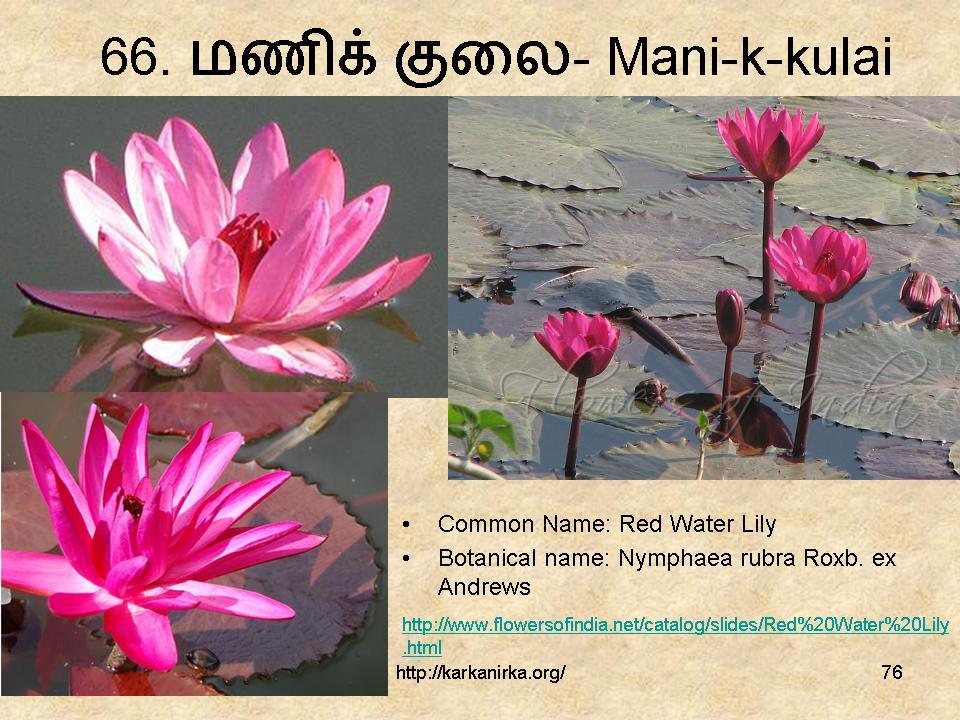 99 Tamil Flowers Kurunjipaatu Flowers 61 70 கறக நறக