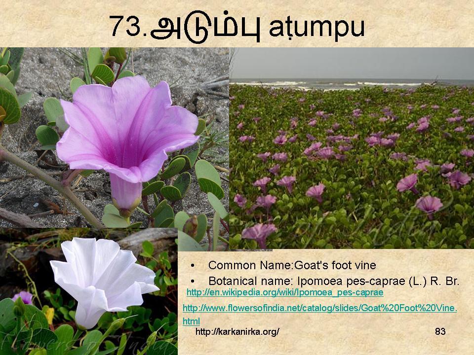 99 Tamil Flowers – Kurunjipaatu – flowers 71-80 – கற்க… நிற்க …