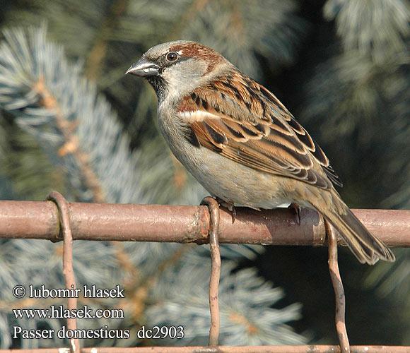 சிட்டுக்குருவி - House sparrow