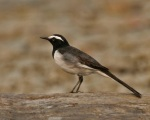 White-browed_Wagtail_(Motacilla_maderaspatensis)_at_Jayanti,_Duars,_West_Bengal_W_Picture_475