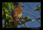 CR2_WhiteBrowedBulbul_Closeup
