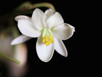 moringa-flower-organic
