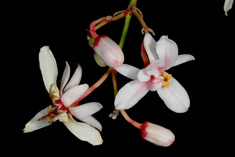moringa_flowers_2