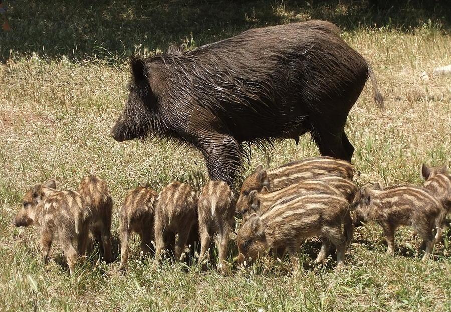 1-wild-boar-steve-mangan