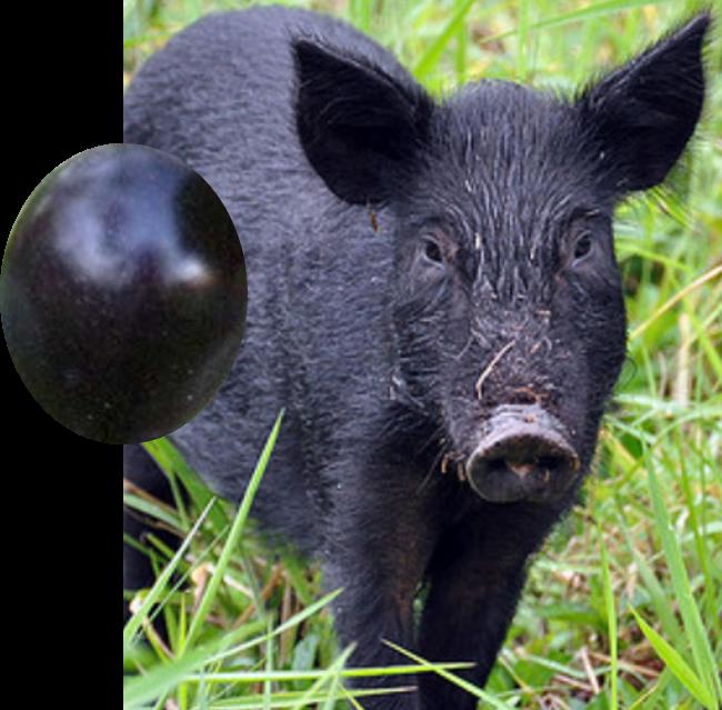 boar plum