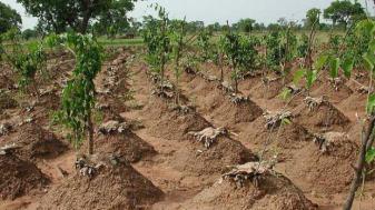 plant-yam-in-nigeria