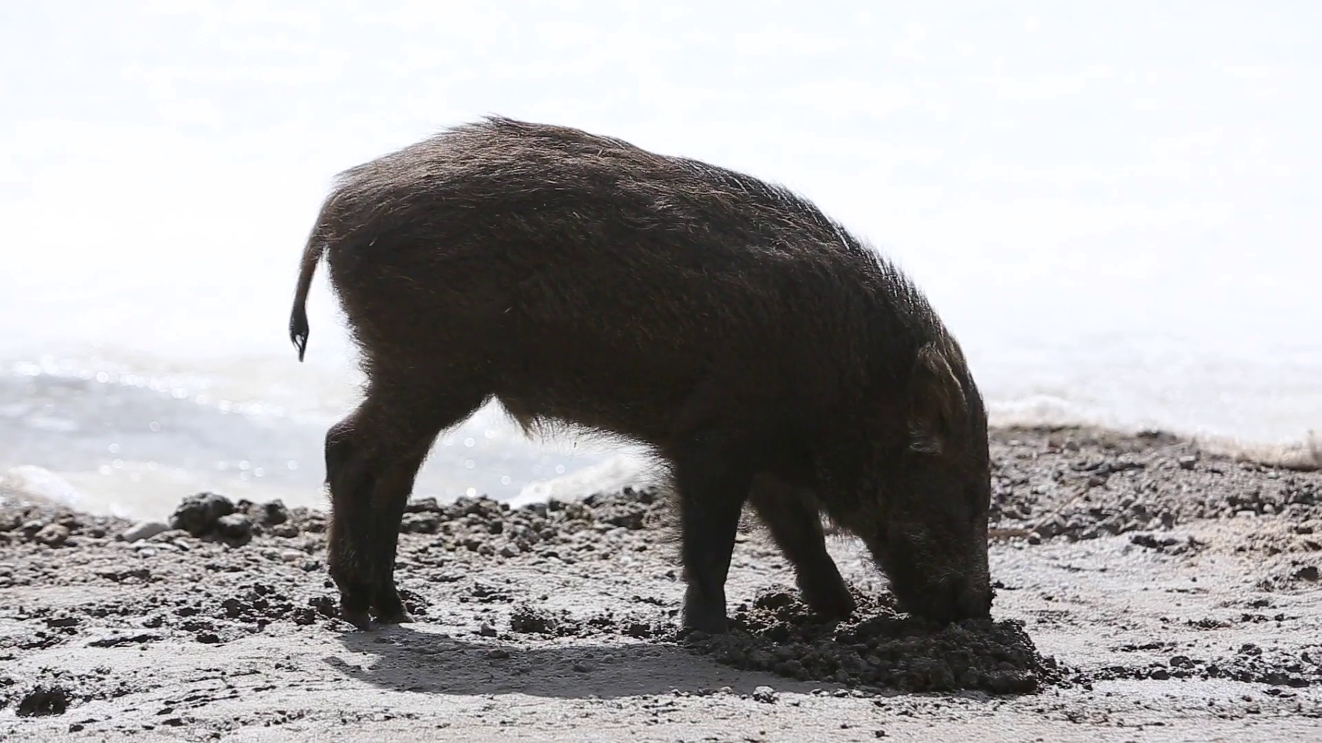 videoblocks-wild-boar-using-snout-to-dig-while-walking_s6pmwqplkz_thumbnail-full01